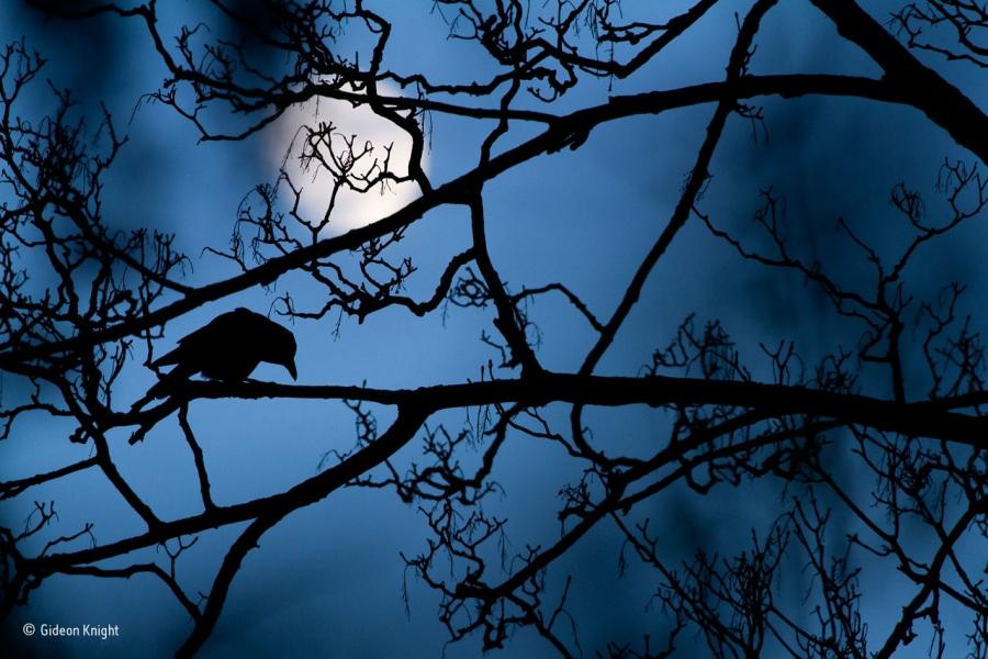 © Gideon Knight, La luna e il corvo